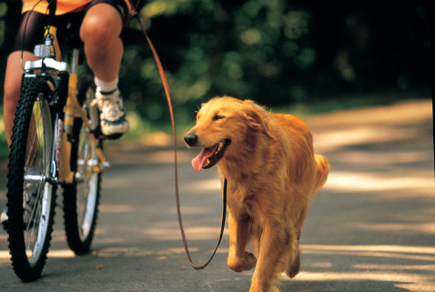Golden Retriever with Woman Riding Bicycle