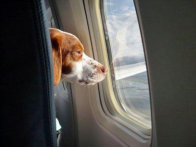 куче лети в самолет