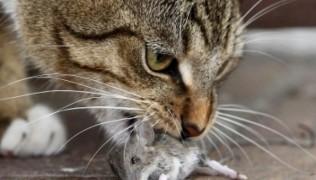 котка с мишка