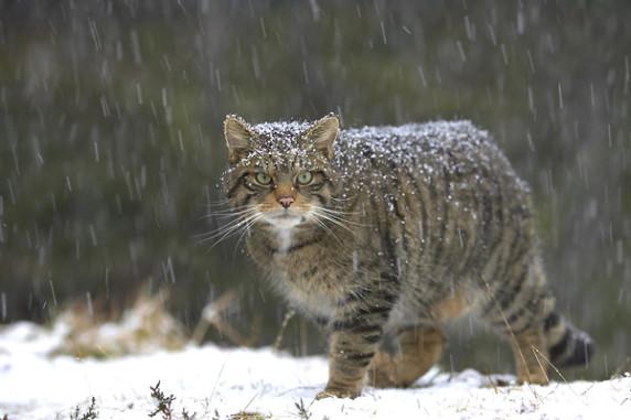 котка се готви за лов