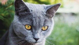 (Български) Petmall.bg – Топ 21 Най-Популярни Породи Котки И Техните Особености