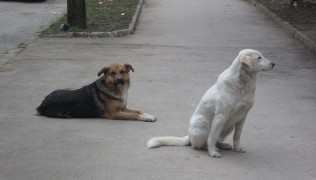 (Български) БНР – Куче водач жертва на отровна примамка за бездомни животни  19.01.2018